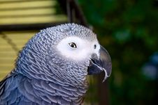 Free Sly Parrot Royalty Free Stock Images - 27347169