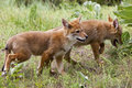 Free Coyote Pups Running Royalty Free Stock Photography - 27359157