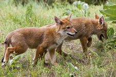 Coyote Pups Running Royalty Free Stock Photography