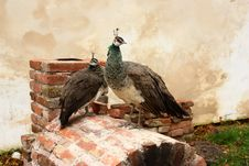 Two Peacocks Royalty Free Stock Photography