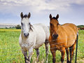 Free Two Horses, One Brown, One White Stock Photo - 27372260