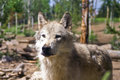 Free Wolf In Captivity Royalty Free Stock Image - 27372326