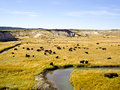 Free Buffalo At Oxbow Bend Yellowstone Stock Photos - 27372363