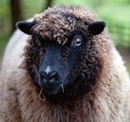 Free Sheep Stock Photography - 27373942