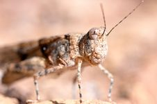 Free Grasshopper Portrait Stock Images - 27372224