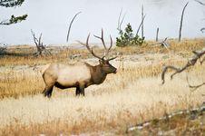 Bull Elk Savors The Moment Stock Image