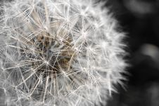 Free Dandelion Macro Royalty Free Stock Photos - 27373618