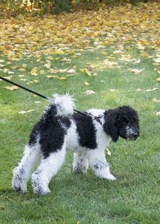 Free Black And White Standard Poodle Puppy Stock Photo - 27374050