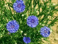 Free Blue Cornflowers At The Green Grass Background Royalty Free Stock Photo - 27378125