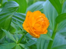 Free Orange Taiga Flower On The Grass Stock Photos - 27378133