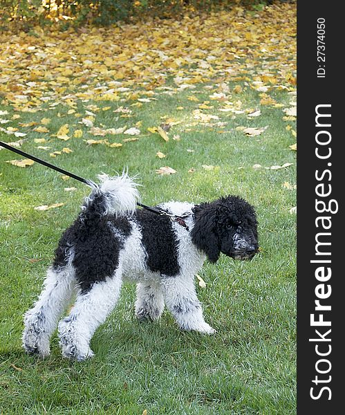 Black And White Standard Poodle Puppy - Free Stock Images & Photos