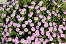 Free West Australian Wild Flower Pimelia Royalty Free Stock Photos - 27380058
