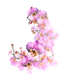 Free Orchid Blossom Stock Images - 27380164