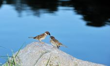 Free Two Sparrows Stock Photography - 27381262