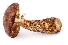 Free Brown Cap Boletus Royalty Free Stock Photo - 27381325