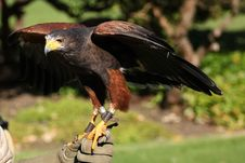 Free Harris Hawk Royalty Free Stock Images - 27388269