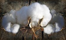 Free Cotton Stock Photos - 27389233