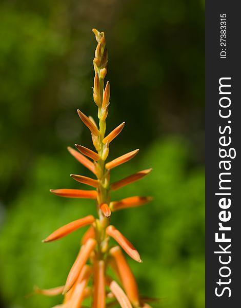 Aloe brevifolia flower stalk
