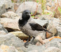Free Hooded Crow On Stones Stock Image - 27390731