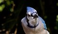 Free Blue Jay Royalty Free Stock Images - 27390759