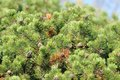 Free Bushy Pine Trees With Cones In Forest Stock Images - 27390814