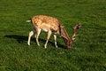 Free A Fallow Deer Buck Stock Photo - 27391970