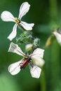 Free Arugula Flowers Royalty Free Stock Photo - 27395715