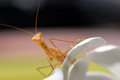 Free Praying Mantis On White Flower. Royalty Free Stock Images - 27396069
