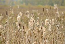 Free Dry Cattail &x28;Bulrush&x29; Spikes With Fluff Stock Image - 27390381