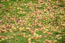 Free Fallen Apples On The Ground In Autumn Stock Photos - 27390523