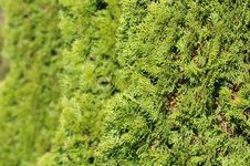Free Green Hedge Of Thuja Trees Stock Images - 27390854