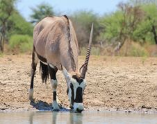 Free African Unicorn - Oryx Gazelle Stock Photography - 27391322