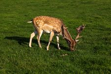 Free A Fallow Deer Buck Stock Photo - 27391970