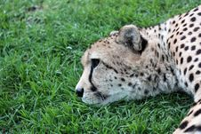 Free Cheetah Lying Down Royalty Free Stock Images - 27393669