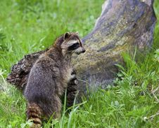 Free Raccoon Standing By Log Royalty Free Stock Photo - 27394525