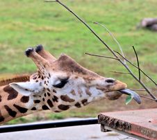 Free Giraffe With Tongue Outside Royalty Free Stock Photo - 27394815