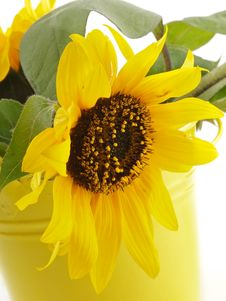 Free Sunflower In Yellow Bucket Royalty Free Stock Image - 27398356