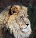 Free Imperious Male Lion Stock Photos - 2741813