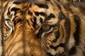 Free Tiger Bars Royalty Free Stock Image - 2743236