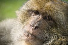 Free Monkey Royalty Free Stock Photo - 2740775