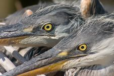 Free Glare Of Heron Bird Royalty Free Stock Image - 2741276