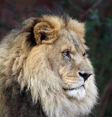 Free Imperious Male Lion Stock Photos - 2741813