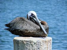 Free Resting Pelican Royalty Free Stock Photo - 2741815