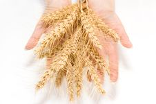 Free Wheat And Hands Royalty Free Stock Photo - 2742355
