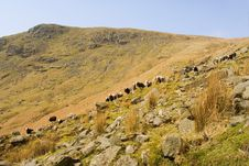 Free Sheep In The Lake District,UK Stock Photos - 2743283