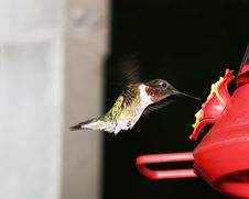 Free Ruby Throat Humming Bird Royalty Free Stock Photos - 2743438