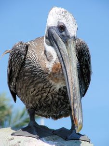 Free Resting Pelican Royalty Free Stock Photos - 2743808