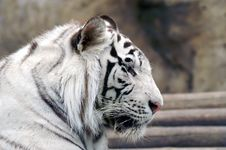 Free White Tiger Royalty Free Stock Image - 2743976
