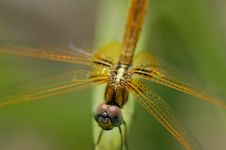 Free Small Yellow Dragonfly Royalty Free Stock Photo - 2744435