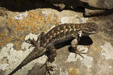Free Lizard Stock Images - 2744614